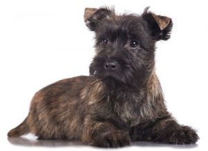 Cairne Terrier